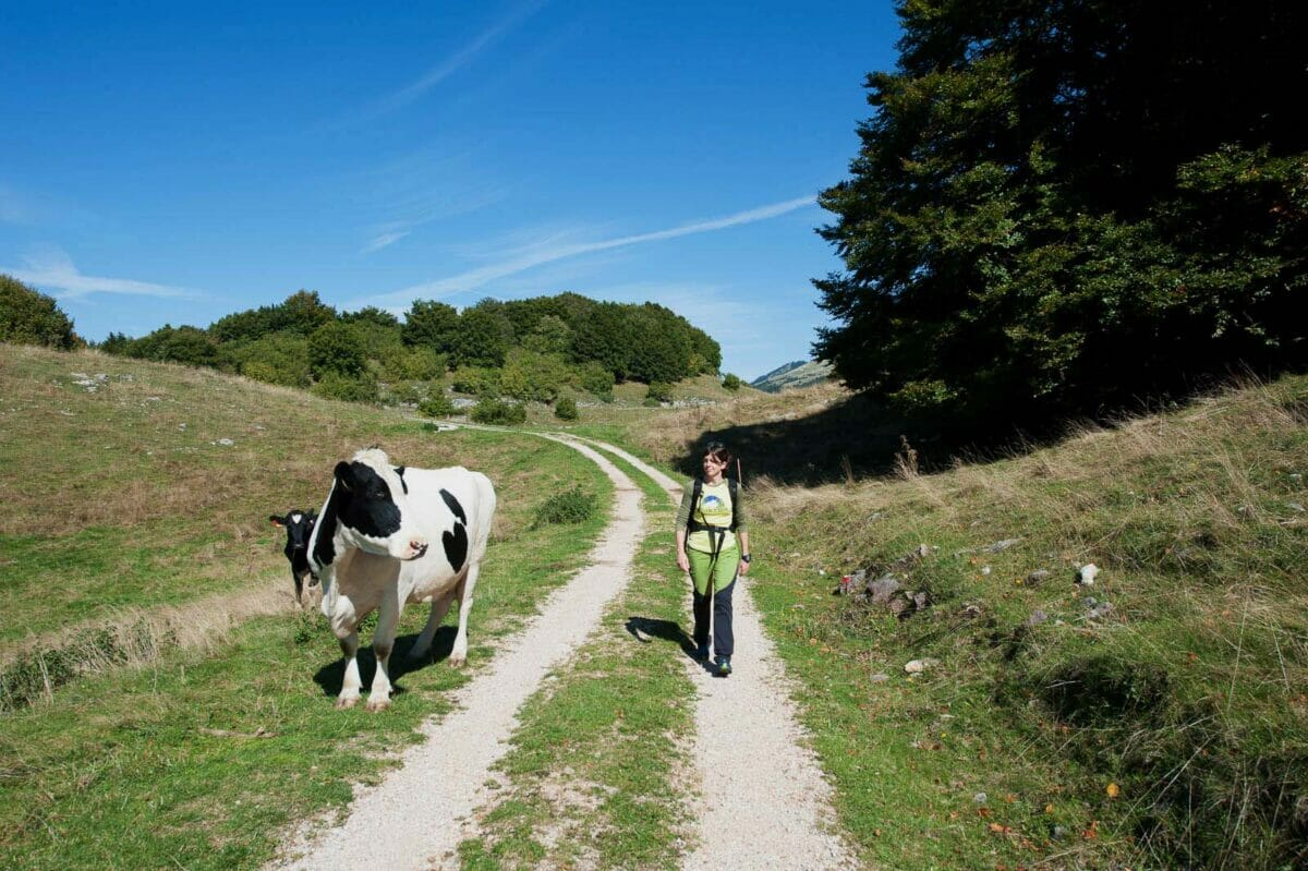 walk on white road with cows