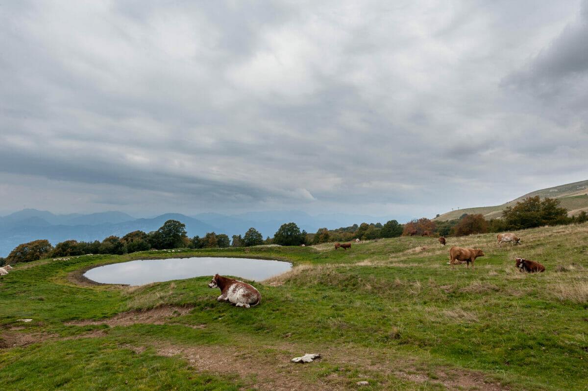 cows near the pond